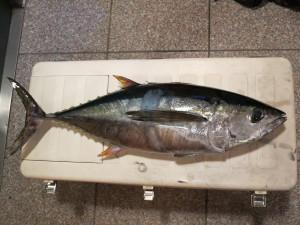 キメジ(キハダマグロの幼魚)